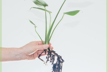 Philodendron Monstera Deliciosa Gatenplant stekje kopen