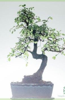 Bonsai Boompje S vormig - 8 jaar oud - Hoogte 25-30 cm+