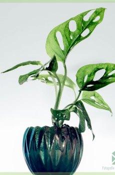 Monstera adansonii monkey mask gatenplant gewortelde stekjes