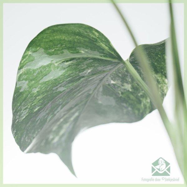 Monstera albo borsigiana variegata - gewortelde kopstekken