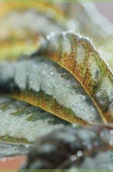 Pilea Silver Tree kanonplantje kopen