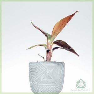 Stromanthe Sanguinea - Calathea triostar stekjes