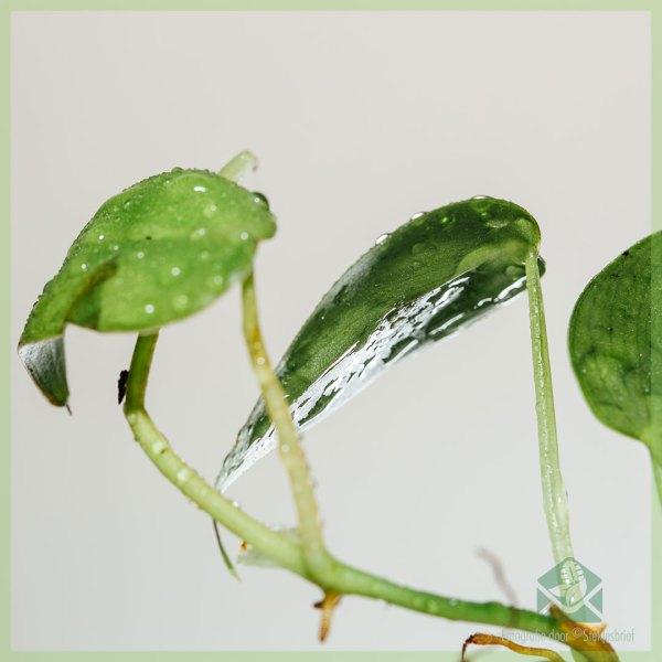 Philodendron scandens stekje kopen