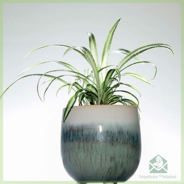Graslelie Chlorophytum comosum mini plantje stekje kopen