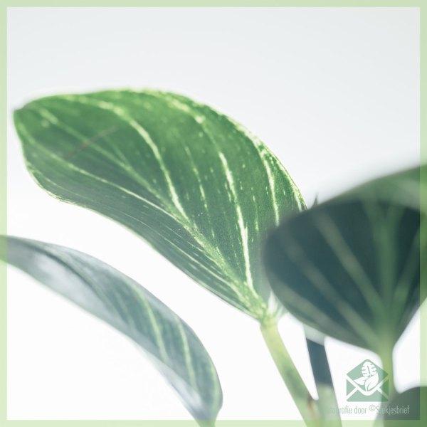 Philodendron Birkin mini plantje kopen en verzorgen