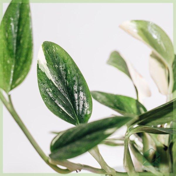 Philodendron cobra kopen en verzorgen