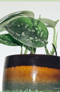 Scindapsus Pictus stekjes kopen en verzorgen