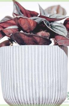 Peperomia Caperata Mendoza kopen
