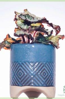 Begonia Rex Dew Drop kopen en verzorgen