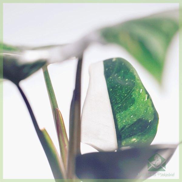 Philodendron White Knight - My Valentine - kopen