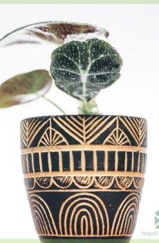 Alocasia Black Velvet miniplant kopen