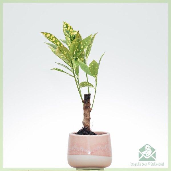 Croton Aucubaefolia (codiaeum) kopen