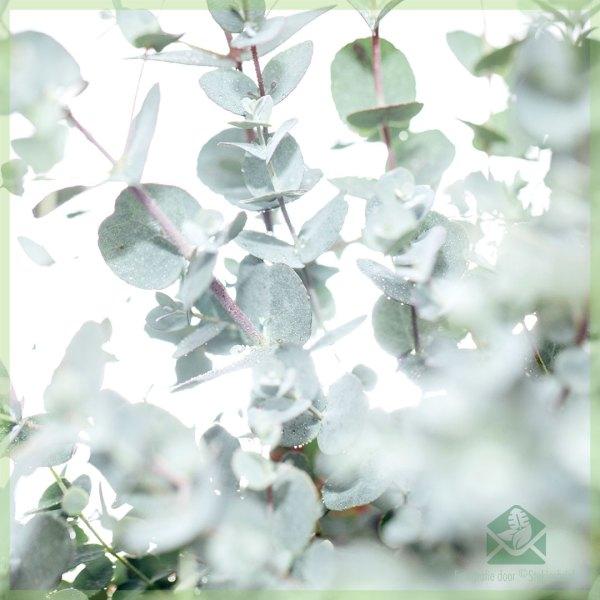 Eucalyptus Gunnii Myrtaceae kopen