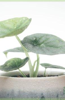 Alocasia Silver Dragon mini plant kopen
