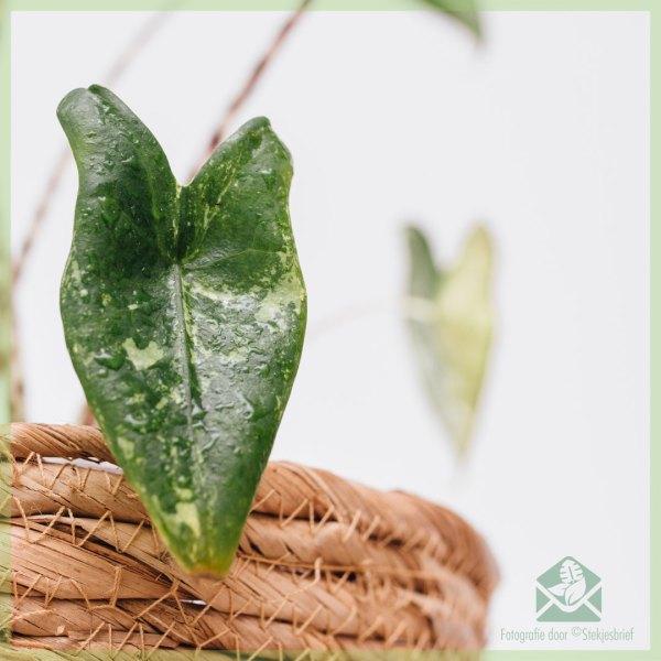 Alocasia Zebrina olifantsoor variegata kopen