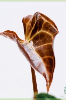 Anthurium Crystallinum kopen en verzorgen