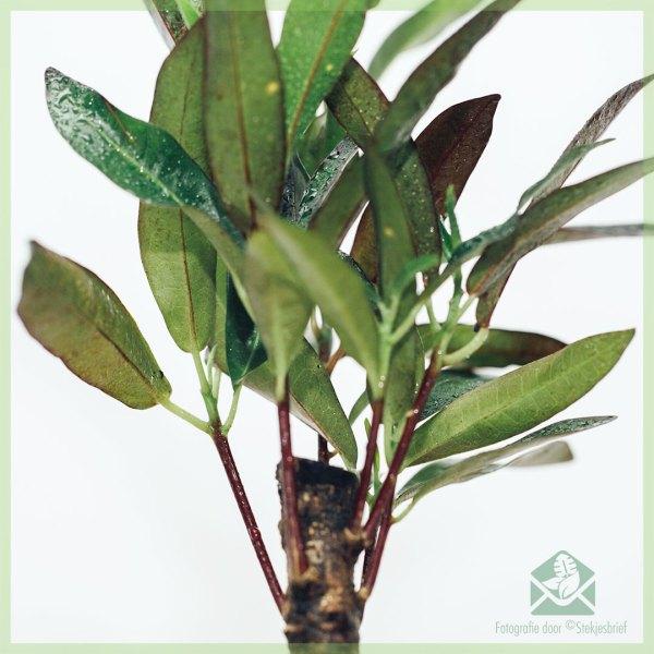 Croton Aucubaefolia (codiaeum) Dark Beauty kopen