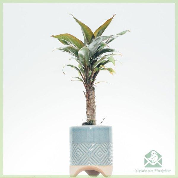 Geluksplant - Cordyline fruticosa kopen en verzorgen