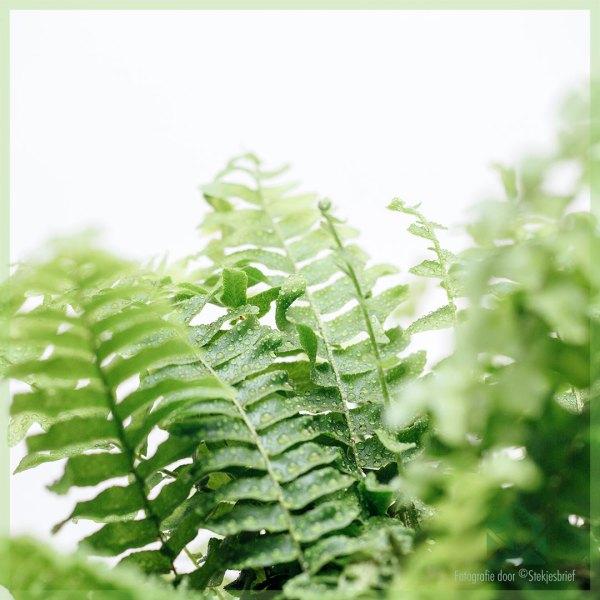 Nephrolepis Exaltata Duffy green lady (Varen) kopen