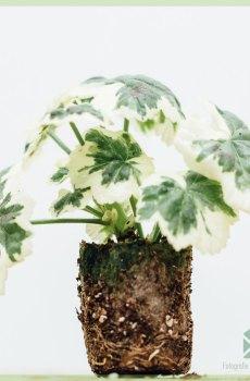 Geranium groengrijs bontbladig geworteld stekjes kopen