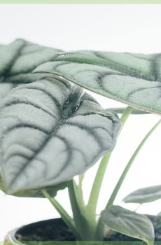 Alocasia Silver Dragon kopen