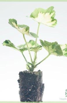 Geranium geelbont geworteld stekjes kopen