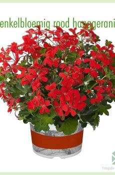 Hanggeranium enkelbloemig kleur rood geworteld stekjes kopen