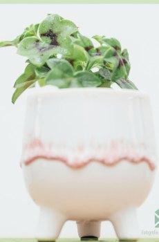 Hanggeranium enkelbloemig kleur wit geworteld stekjes kopen