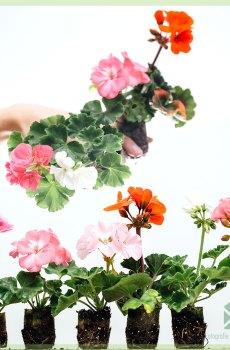 Geranium pelargonium geworteld stekjes kopen