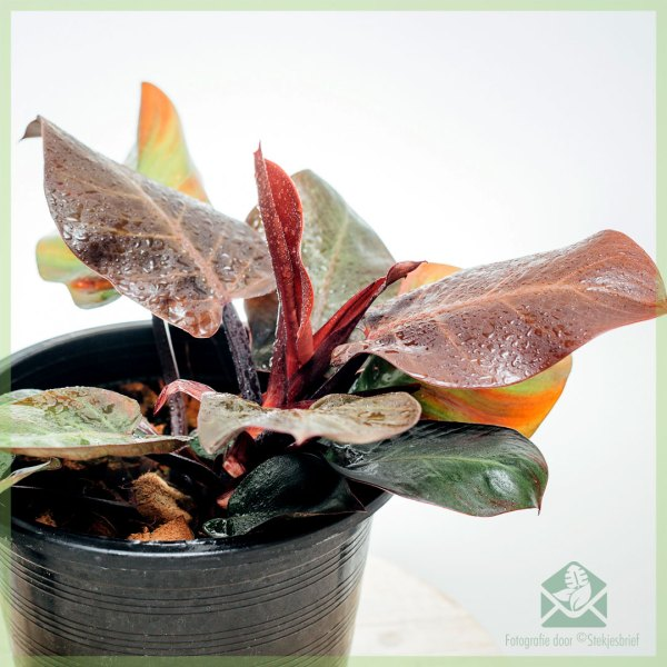Philodendron Cherry Red kopen