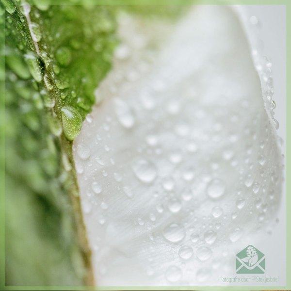 Philodendron White Knight kopen en verzorgen