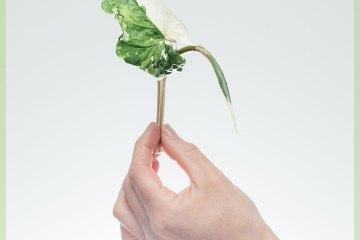 Syngonium Podophyllum Albomarginata ongeworteld kopstekje