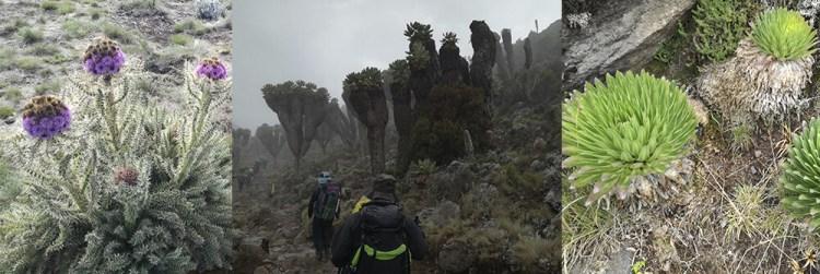 Plants on Kilimanjaro