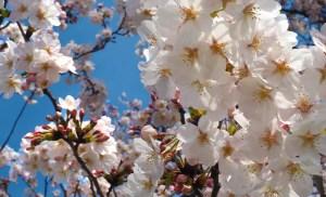 篠崎水門の桜の写真