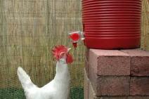 this is a thrirsty chicken.jpg