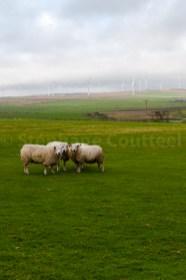 carré de mouton renouvelable