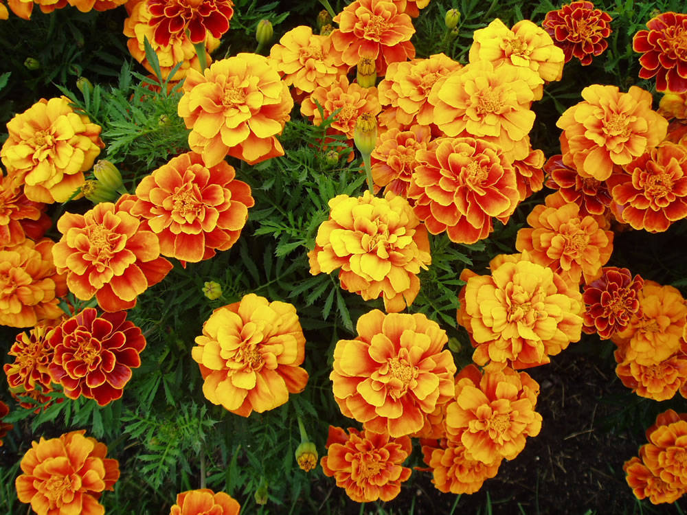 Marigold  the  birth flower  of October   Stephen Morris  author Marigold blossoms can be strung between doorposts to keep evil out of the  house  If