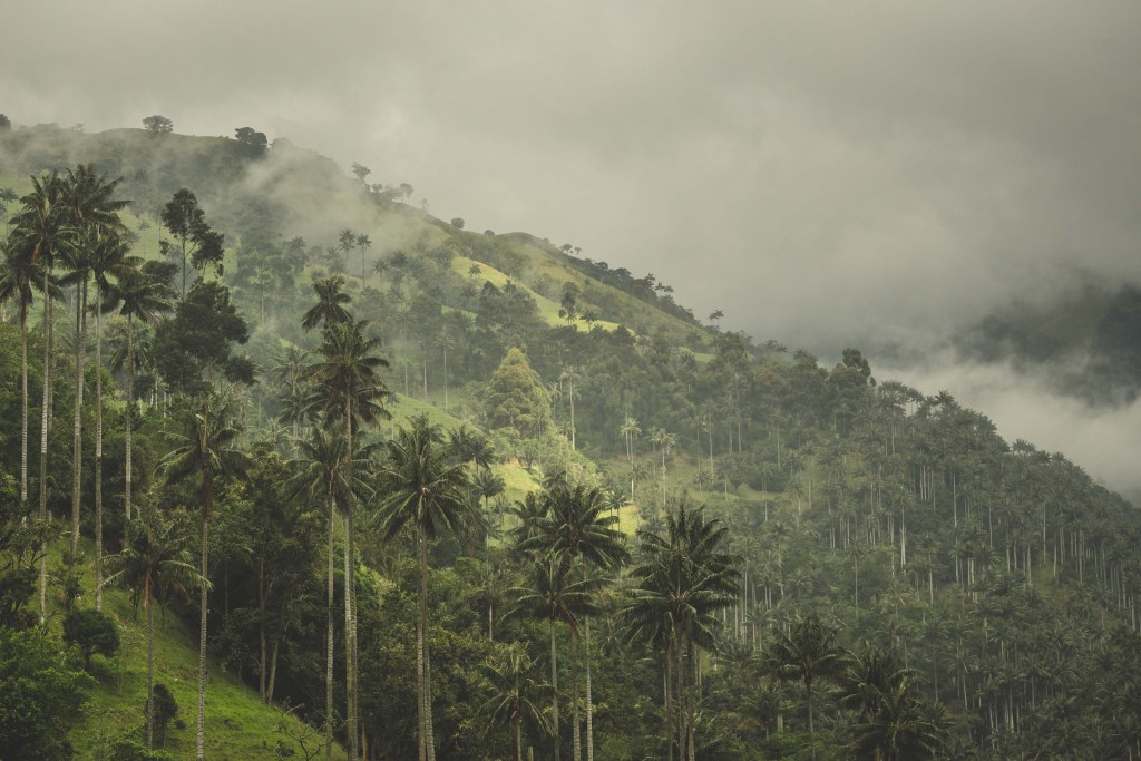 wax palms - national tree of Colombia