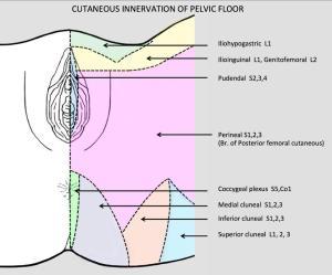 Pudendal Nerve  Stepwards