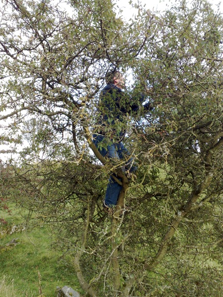 Extreme sloe berry picking!  Pete, 6 feet up, a blackthorn tree that we hoped would support his weight...