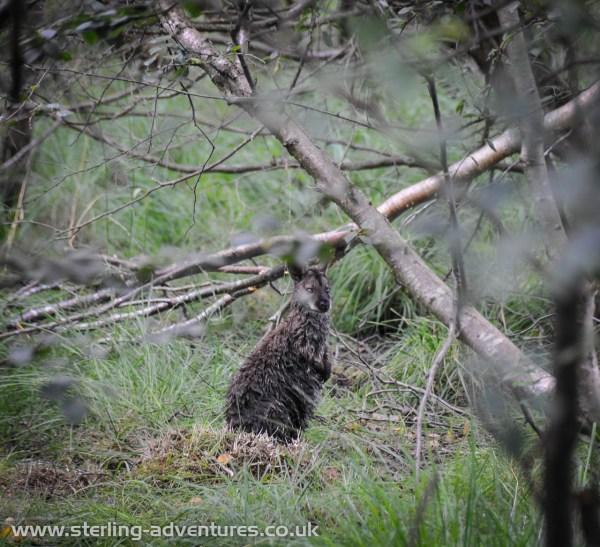 Wallaby at Ballaugh Curragh