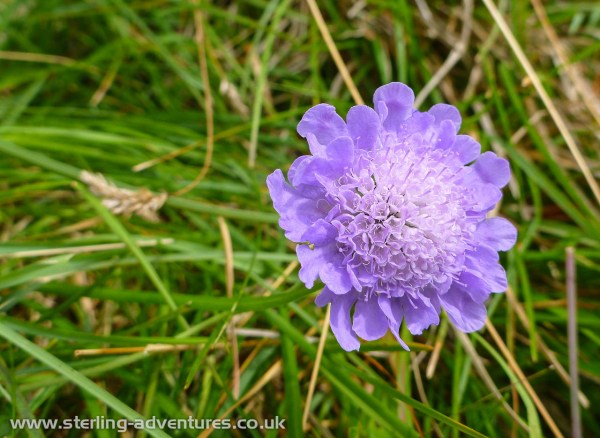 A lovely Scabious in full bloom