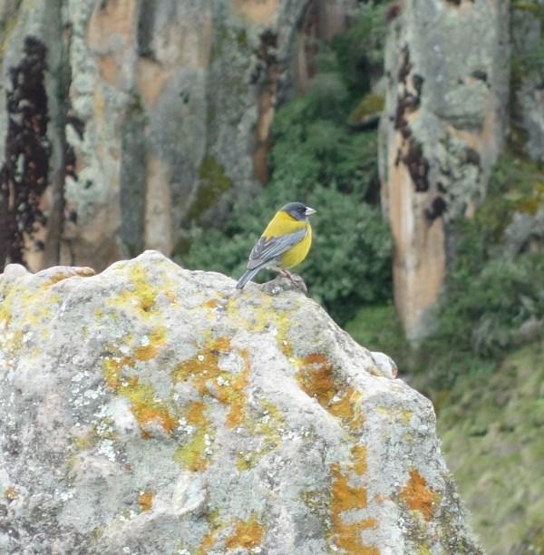 A Peruvian sierra finch.