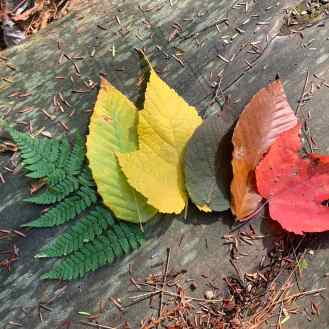 Photo of six different types of leaves of varying colors stacked in a rainbow formation on top of a rock in nature showcasing the transition during fall