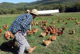 a man walking into a group of laying hens with a chicken house in the background