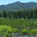 Wetland with conifer trees at edge and mountain in background set against a blue sky.