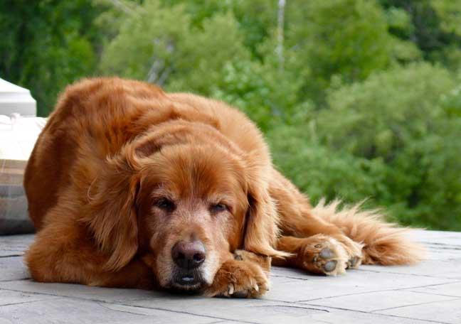 Max the golden retriever relaxing