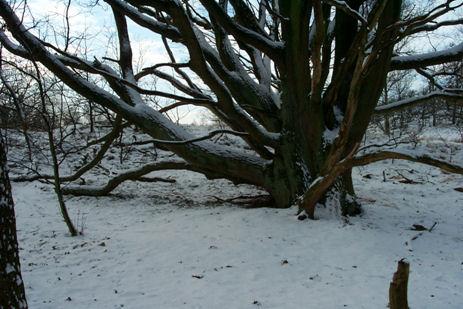 een_oudste_bomen[1]
