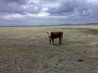 San Carlos Apache Cow