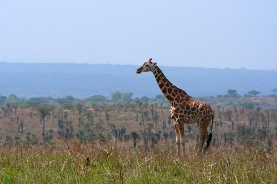P1000540 - Giraffe on ridge-1